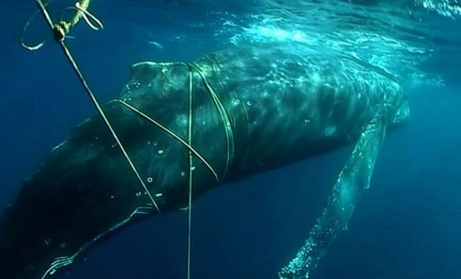Whale Shows Amazing Appreciation After Being Rescued From Tangled Net