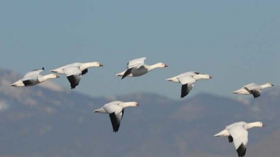 Thousands of Geese Mysteriously Fall From the Sky Over Idaho