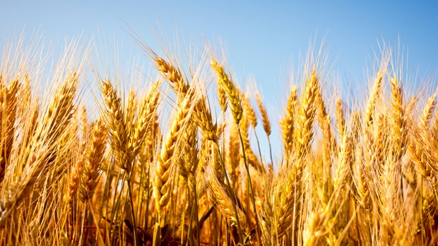 Why 80 Percent of People Worldwide Will Soon Stop Eating Wheat or Die