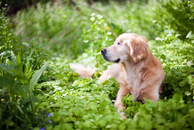 smiley-blind-therapy-dog-golden-retriever-stacey-morrison-9