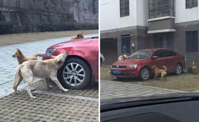 Dog Kicked by Driver Brings Pack of Friends to Trash His Car