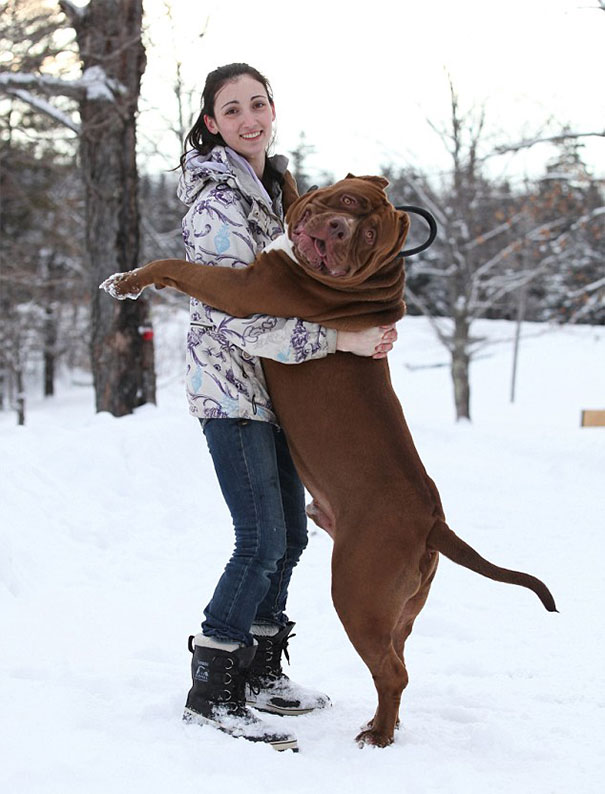 world-biggest-pitbull-the-hulk-dark-dynasty-k9-6