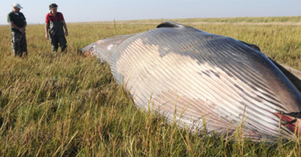 MYSTERIOUS REMAINS OF A WHALE FOUND IN A FIELD IN HUMBER UK