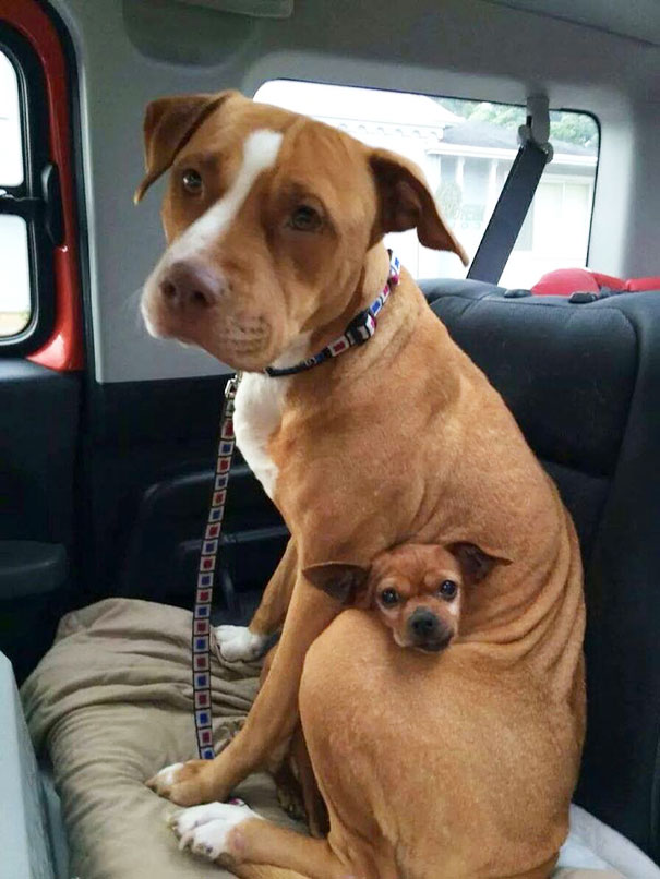 Best Bodyguard Dog