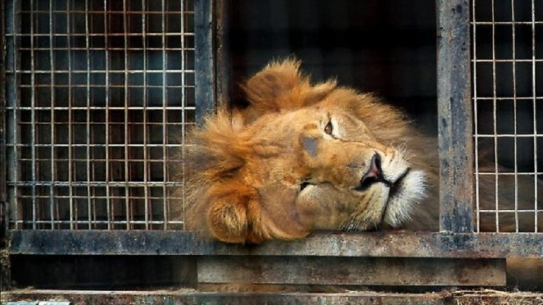 Circus Lion Freed From Cage Feels Earth Beneath His Paws For First Time