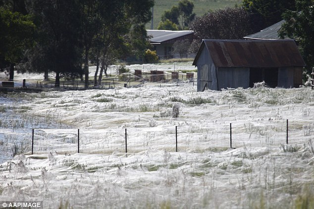 Bizarre Natural Phenomenon Angel Hair: Spiders Rain Down On Australia…. Millions Reportedly Descended From Sky On Town