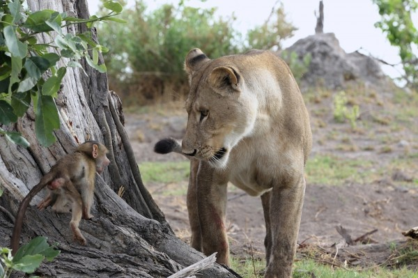 Lion-and-Baboon_DPP07DC0B0E150121--600x399