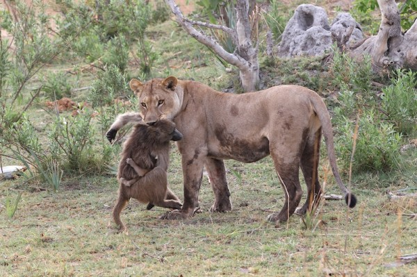 A Lioness Captures A Baby Baboon And Does The LAST Thing You'd Expect