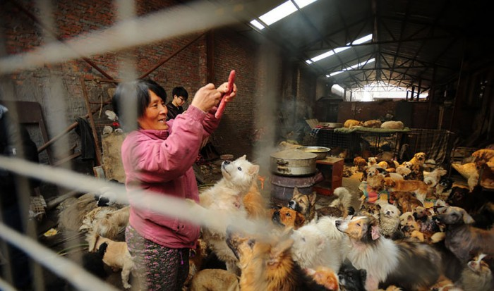 rescued-dogs-yulin-dog-meat-festival-china-16