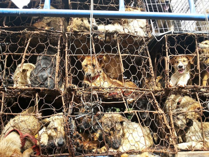 rescued-dogs-yulin-dog-meat-festival-china-22