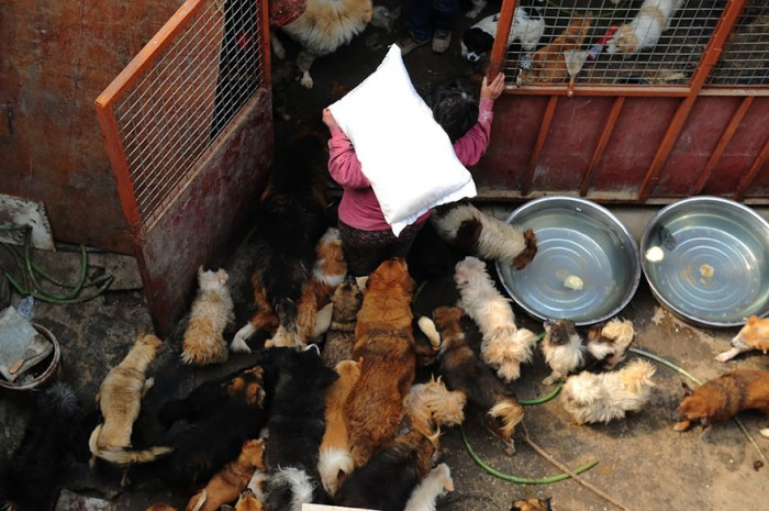 rescued-dogs-yulin-dog-meat-festival-china-7