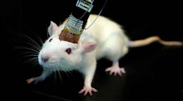 A mouse's memory is recorded by sensors connected to its head in a laboratory in East China Normal University in Shanghai April 25, 2005. Scientists at East China Normal University are researching the formation of memory in the brain as part of efforts to learn more about the nature of human intelligence. - RTXNFAF