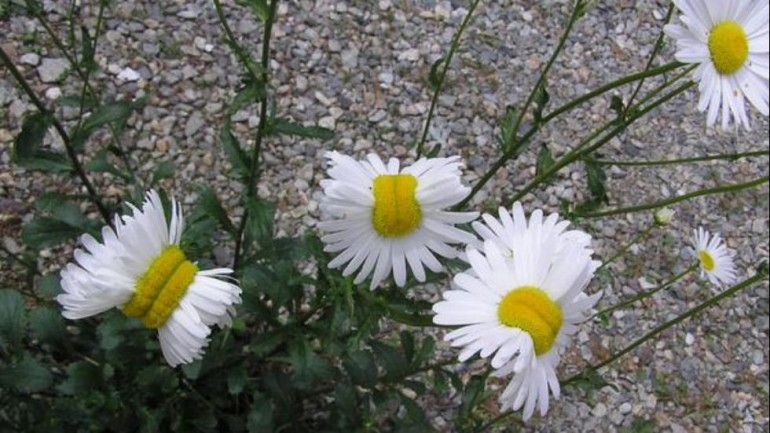 Mutant Flowers From Japan's Fukushima Nuclear Disaster Go Viral Online