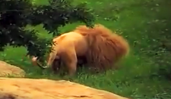 THIS Lion Was Bored So They Tossed Him a Toy. They Were Baffled By What He Did With It
