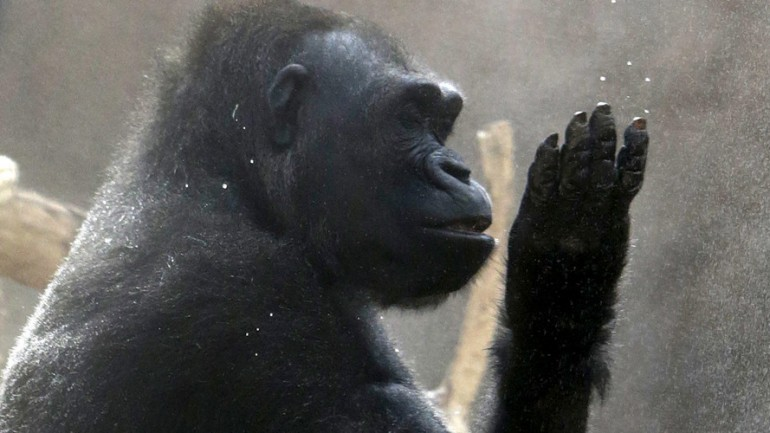 Gorillas May Have Capacity For Speech