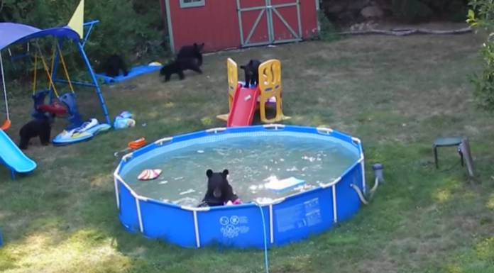 Black Bear And Her Cubs Decided To Hold Pool Party In