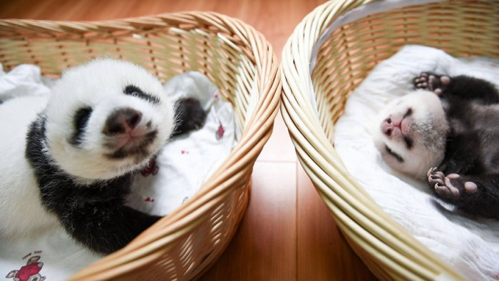 baby-panda-basket-yaan-debut-appearance-china-13
