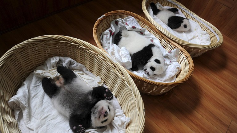 Panda Babies Sleeping In Baskets Make Their First Public Appearance