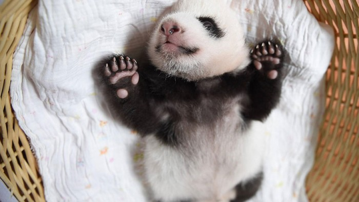 baby-panda-basket-yaan-debut-appearance-china-27