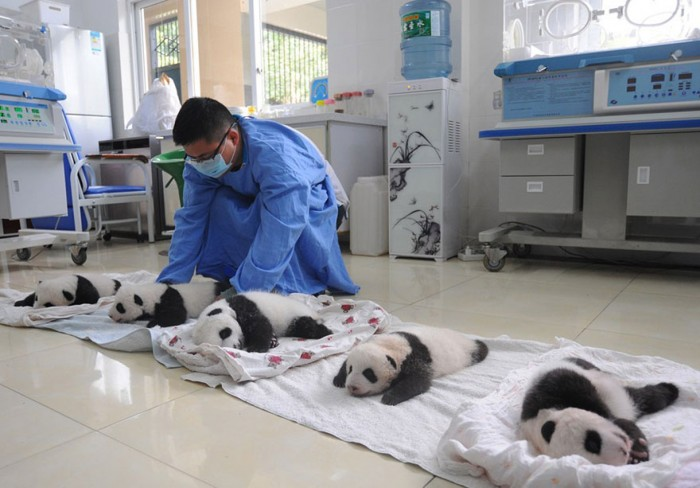 baby-panda-basket-yaan-debut-appearance-china-28