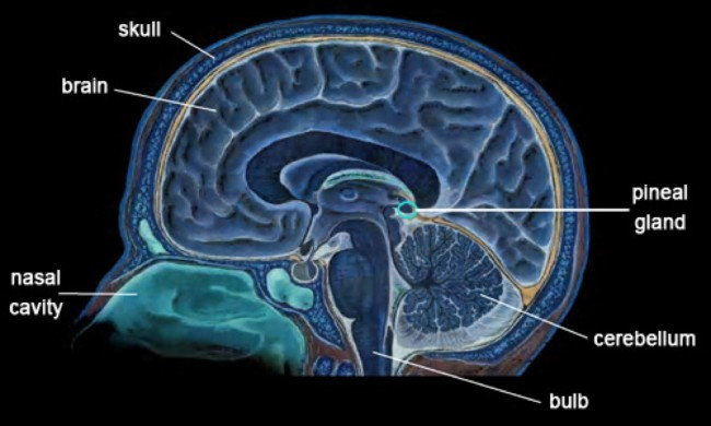 brain-and-pineal-gland-jpg