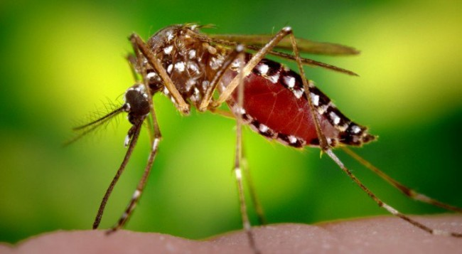 Millions Of Genetically Modified Mosquitoes Set To Be Released