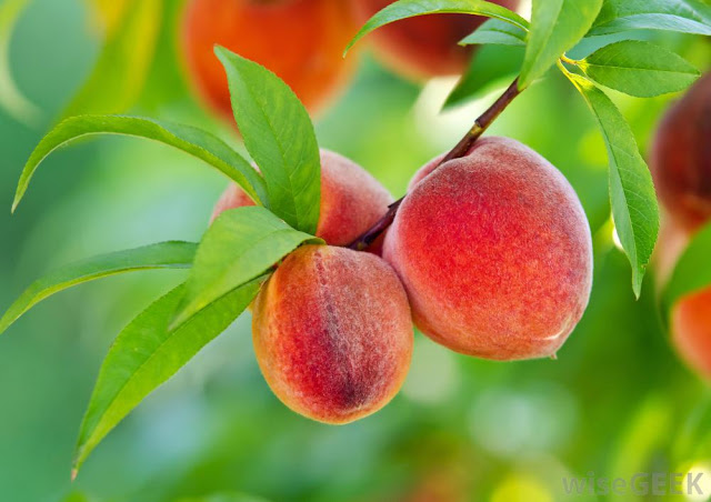 peaches-growing-in-tree