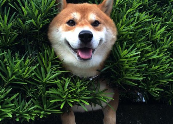 Shiba Inu Gets Stuck In Bush, Pretends Everything Is OK