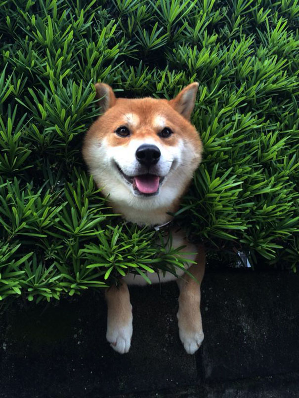 shiba-inu-stuck-in-bush-japan-2