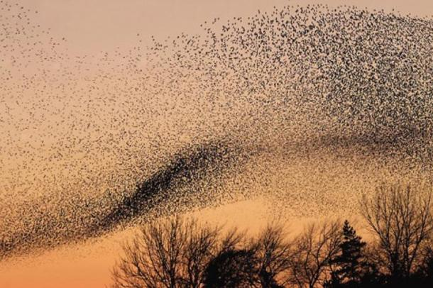 murmuration-of-starlings