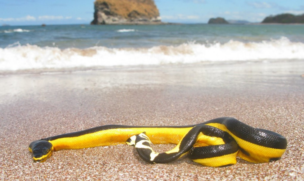 [Image: Poisonous-Yellow-bellied-sea-snake-1020x610.jpg]