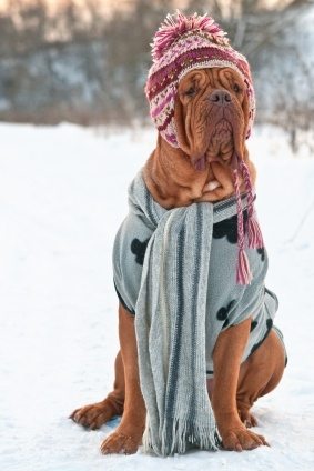 17 Reasons Why Getting A Dogue De Bordeaux Is The Best Thing You Could Ever Do