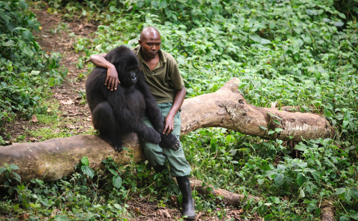This Man Comforted A Gorilla Who Just Lost His Mother