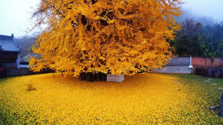 1,400 Year Old Chinese Ginkgo Tree Drops Leaves That Drown Buddhist Temple In A Yellow Ocean