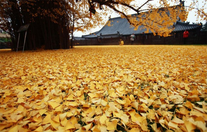1400-old-ginkgo-tree-yellow-leaves-buddhist-temple-china-3
