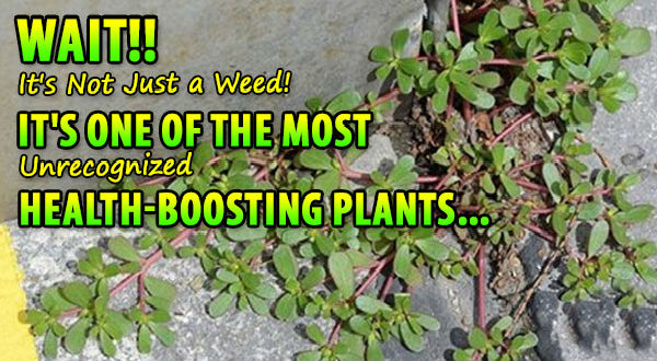 Purslane – Just a Weed, or an Unrecognized Health-Boosting Plant?
