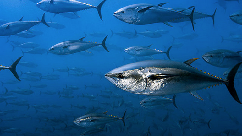 ALL Bluefin Tuna Caught off West Coast are Radioactive
