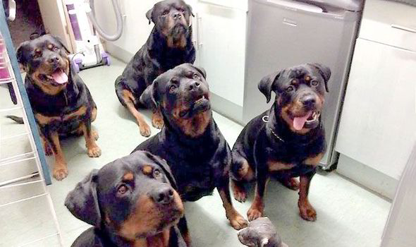 Rottweilers Save 80-Year-Old Woman, Lick Her Until Help Arrives