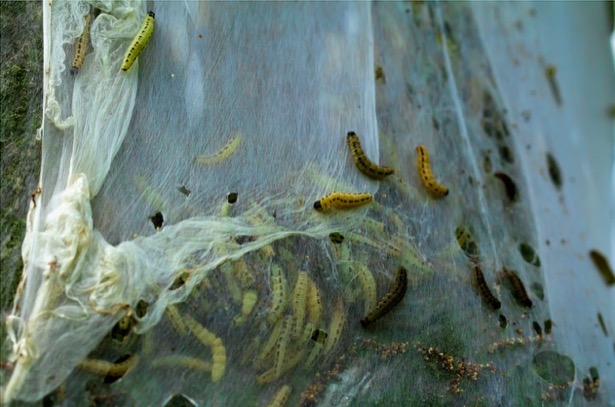 Catepillar Invasion Turned This Dutch City Into A Ghost Town
