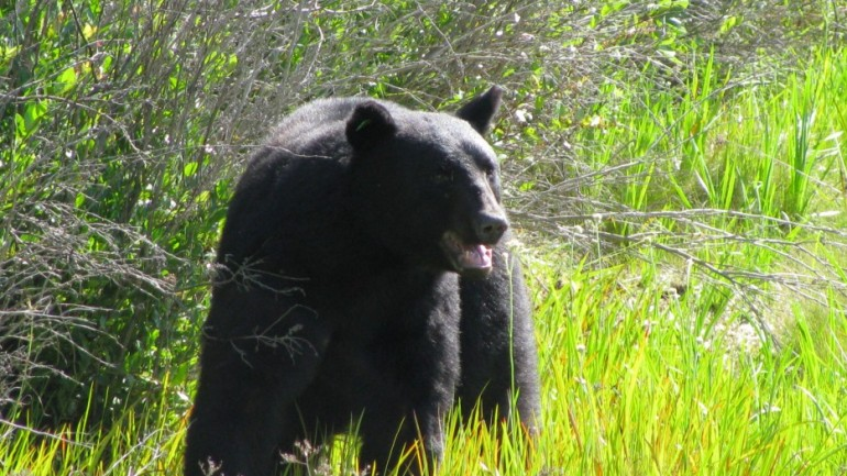 Greatest Rescue Ever…..Man Saving a Drowning 400-lb Black Bear