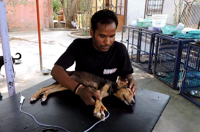 dying-puppy-wags-tail-animal-aid-unlimited-india-11