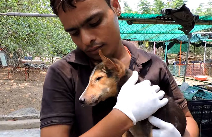 dying-puppy-wags-tail-animal-aid-unlimited-india-6