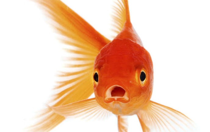 This Is Why You Probably Shouldn't Flush Your Pet Goldfish Down The Toilet