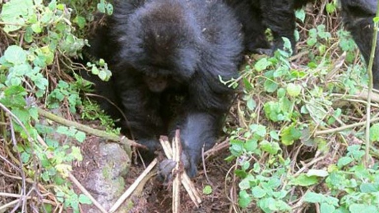 These Young Gorillas Figured Out How To Dismantle Poacher Traps