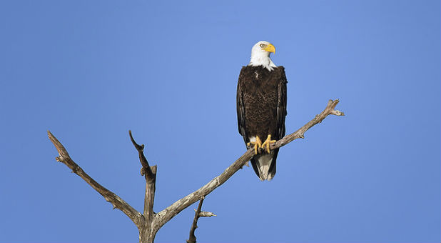 The Prophetic Warning Behind the Death of 13 Bald Eagles