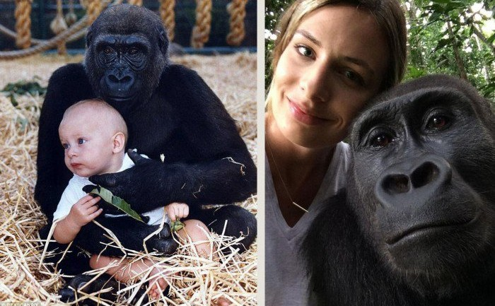 This Woman Grew up Raising Gorillas. Their Reunion 12 Years Later Will Touch Your Heart