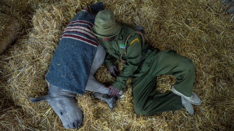 This Baby Rhino Lost His Mom, So He Sleeps With a Blanket for Comfort
