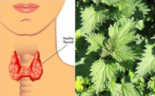 9-Herbs-to-Treat-Many-Thyroid-Conditions-Naturally-and-Effectively