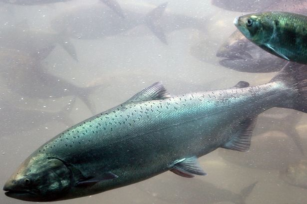 A-chinook-salmon