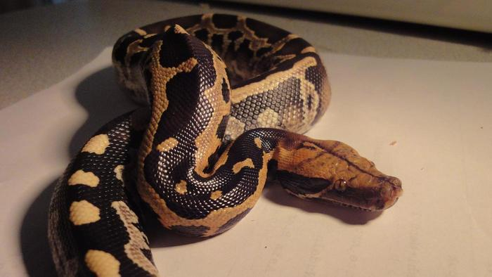 This Woman Slept With A Python Every Night. When It Stopped Eating, The Vet Told Something Shockingly Horrifying